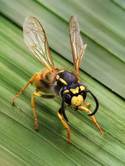 Wasp: Members of the order Hymenoptera which are not ants nor bees